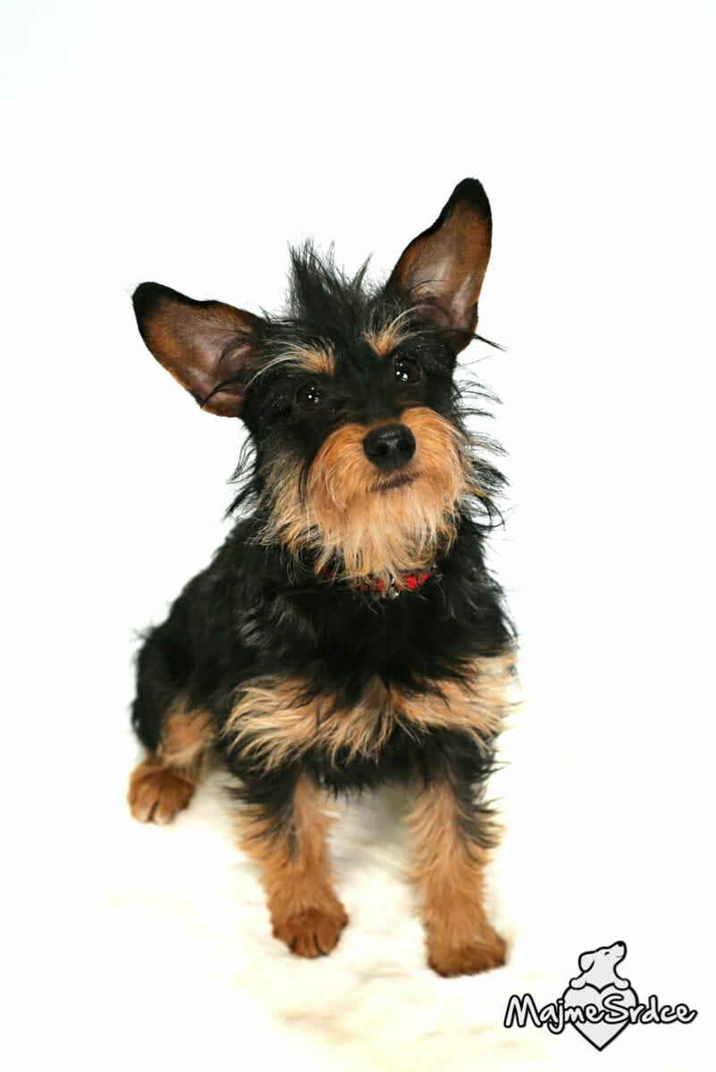 pes na adopciu lolita